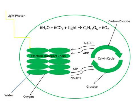 Plants Undergo Cellular Respiration and Photosynthesis