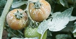 grow  eat  combat stink bugs organically
