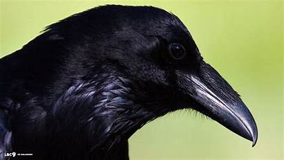 Raven Head Bird Common Wallpapers Birds Backgrounds
