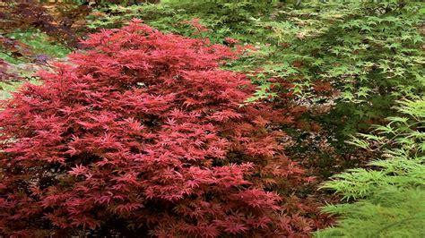 japanese maple shrub gardening 101 japanese maple trees southern living