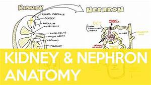 Anatomy Of The Kidney And Nephron