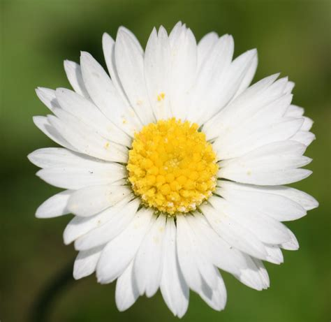 daisies flowers file english daisy bellis perennis jpg wikipedia