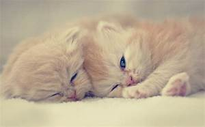 Cute Persian Kittens - Annie Many