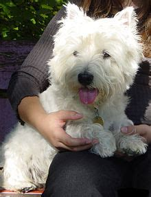 west highland white terrier simple english wikipedia