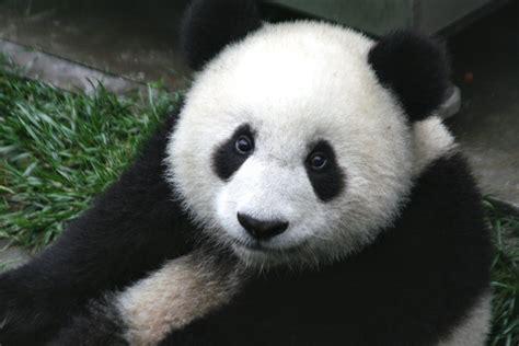 Pandas are Dumb
