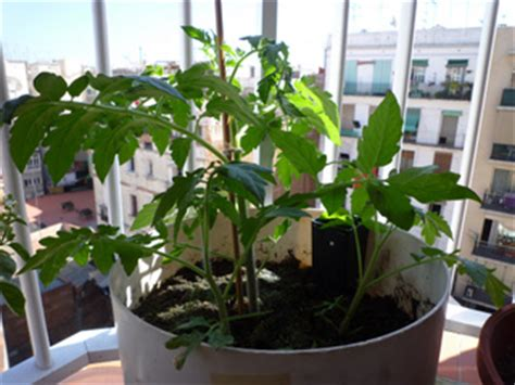 tomate conseils de culture et plantation