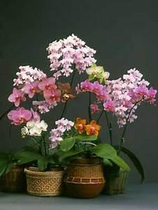 Novice Phalaenopsis Culture Sheet