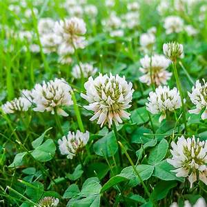Clover in Your Lawn: Is it Lucky or Not?
