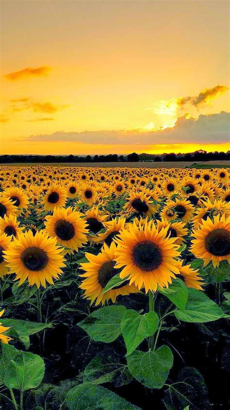 sunflower wallpaper hd  cool wallpapers