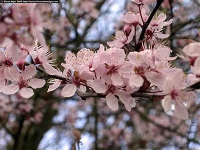 Cherry Blossom Desktop Wallpapers Bing Natural Mobile