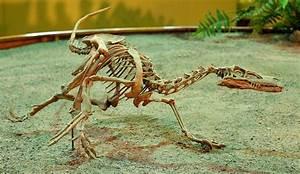 Velociraptor - Wikipedia  Velociraptor