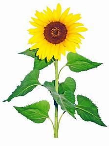 Sun Flower Transparent Png Image by Nick-Jaipur on DeviantArt
