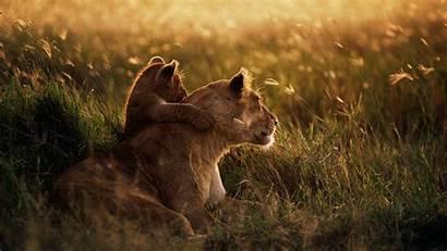 African Wildlife Desktop Lion Wallpapers Wallpapersafari