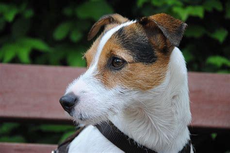 Russel In Appartamento by Parson Terrier Carattere E Prezzo Razze Cani