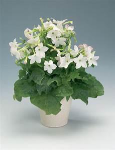 Plants & Flowers » Nicotiana alata
