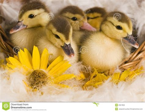 easter ducks stock photography image