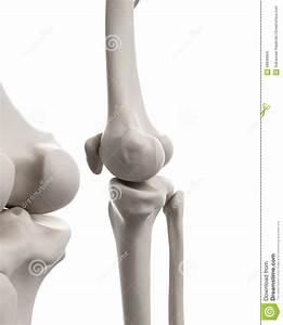 The Skeletal System - The Knee Stock Illustration
