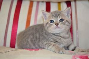 British Shorthaired Blue Cross Blue Tabby | Olney ...