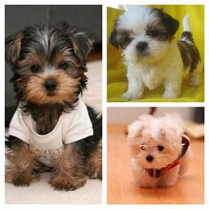 Day 10: Pets I've always wanted. Teacup Yorkie, Teacup ...