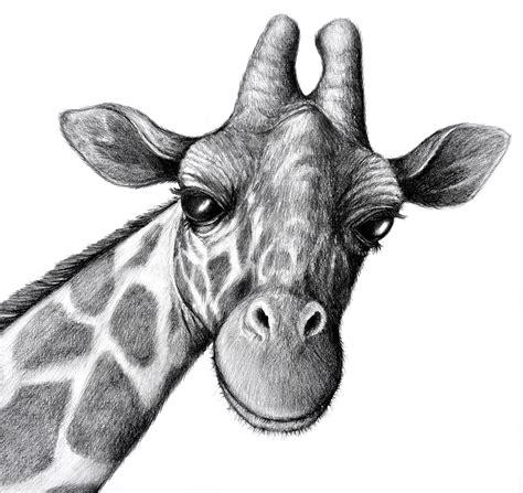 drawn giraffe pencil sketch pencil   color drawn