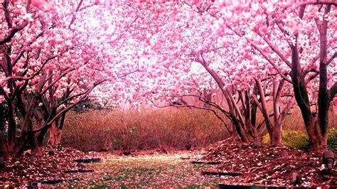 Cherry Blossom Tree Wallpaper 01 - [1920x1080]