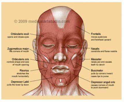 muscles   face human anatomy  artistic reference