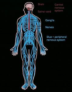 Nervous System Worksheet High School Lovely Nervous System