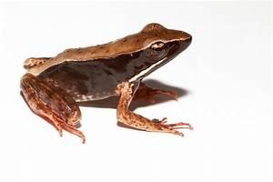 Warszewitsch U0026 39 S Frog