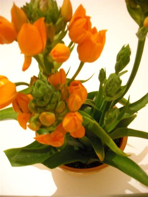 pianta fiori arancioni ornitogallo coltivazione