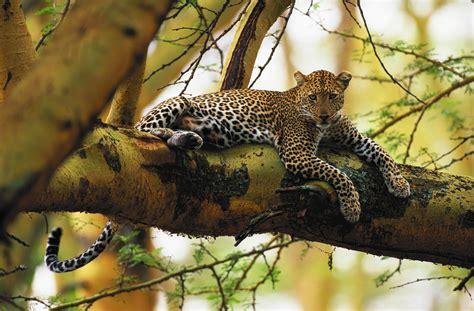 leopard lake nakuru national park kenya art wolfe