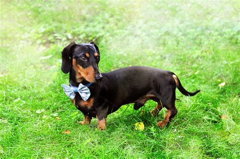 Miniature Dachshund Wearing Bow Tie