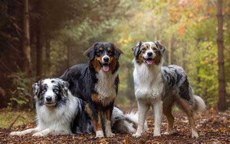 australian shepherd dog information dog breed atlas