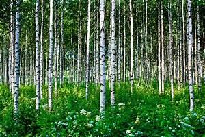 Wallpaper with Birch Trees - WallpaperSafari