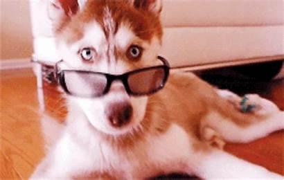 Husky Gifs Huskies Barkpost Dog Funny Cat