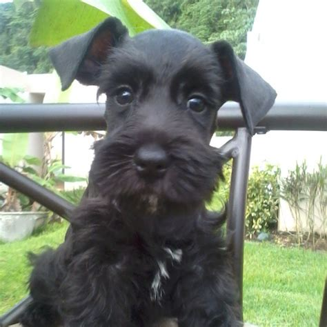 pin by daphne hamm on adorable schnauzers pinterest