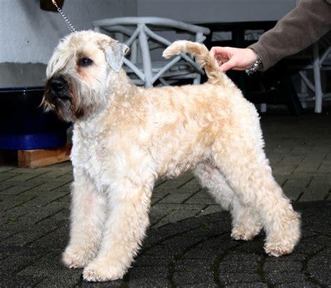 honden foto irish softcoated wheaten terri 235 r