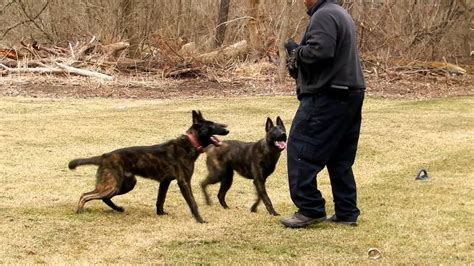 month  dutch shepherd pups ball drive work youtube