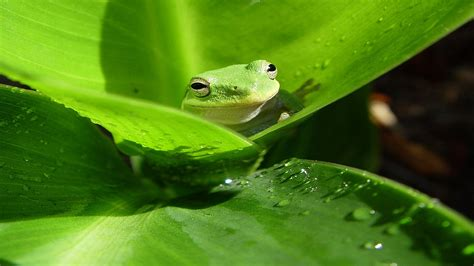 Green Animal Wallpaper - frog wallpaper hd wallpaper 268549