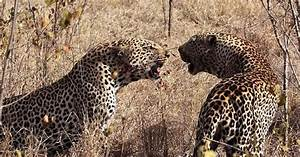 Two cheetahs are fighting. They could be competing over ...