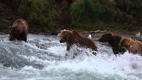 bears river alaska brown fishing mcneil