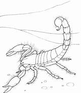 Scorpion Coloring Pages Desert Giant Supercoloring sketch template
