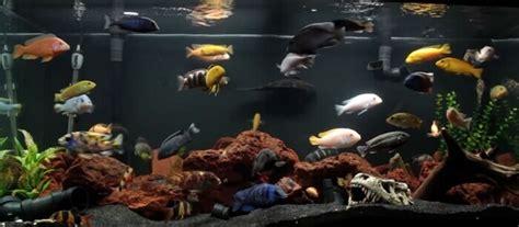 cichlid fish  beautiful fresh water aquarium fish