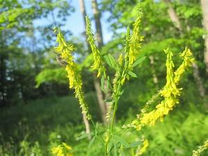 Rensselaer Plateau Life: Yellow Sweet Clover