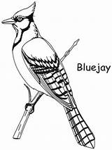 Jay Coloring Bird Pages Drawing Birds Bluejay Backyard Gray Clipart Template Toronto Colouring Patterns Drawings Quilling Printable Adult Clip Religious sketch template