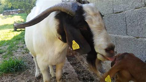 goat mating youtube