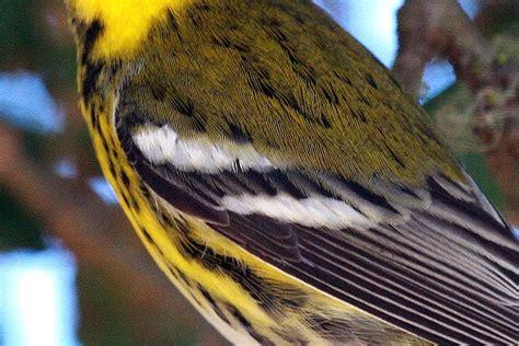 wing bar      field mark  bird