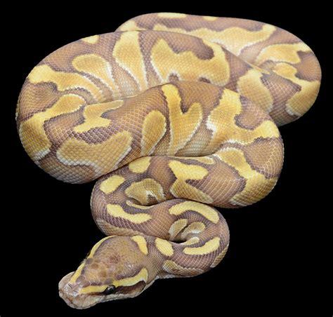 super butter ball python