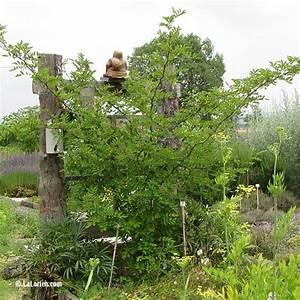Poivre De Sichuan : poivre de sichuan les plantes de la lorien les plantes ~ Melissatoandfro.com Idées de Décoration