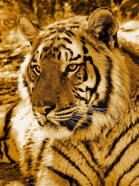 Golden Tiger Wallpapers Lock Screen