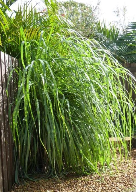 lemongrass landscaping 143 best images about gardening grasses and grass like plants on pinterest gardens plants